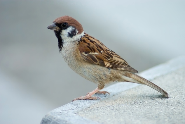 """""""the sparrow"""", by wikipedia. C'est exactement l'image qu'il avait dans son diporama cet aprem. (j'ai déjà dit que j'avais honte ?)"""